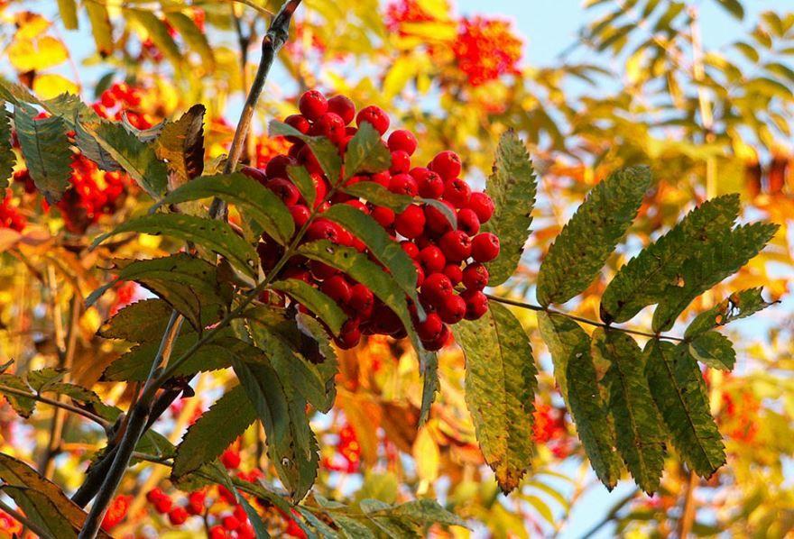 3 сентября - праздник костры рябин
