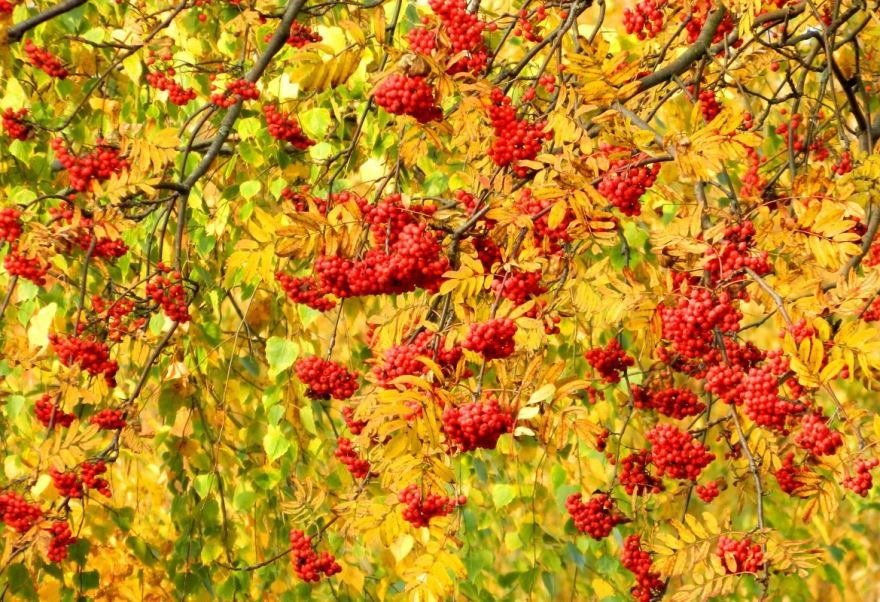 В саду горит костер рябины красной, картинка