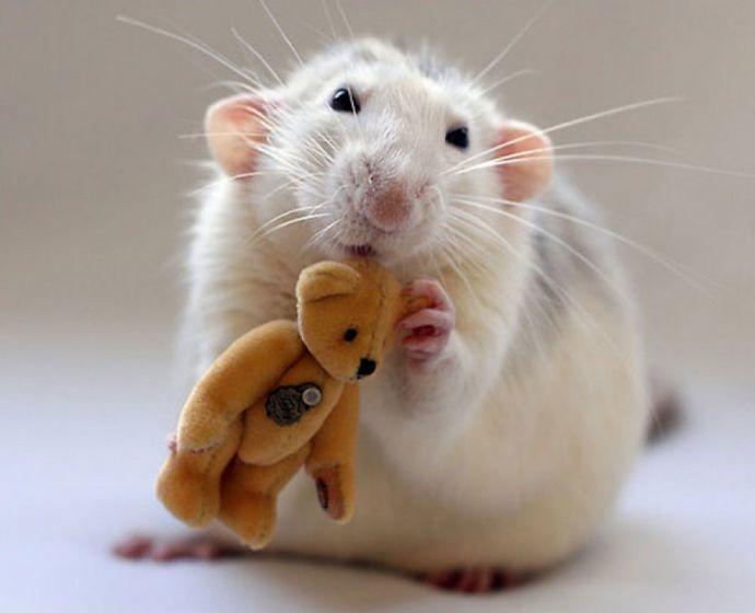 По восточному календарю 2032 год - год крысы
