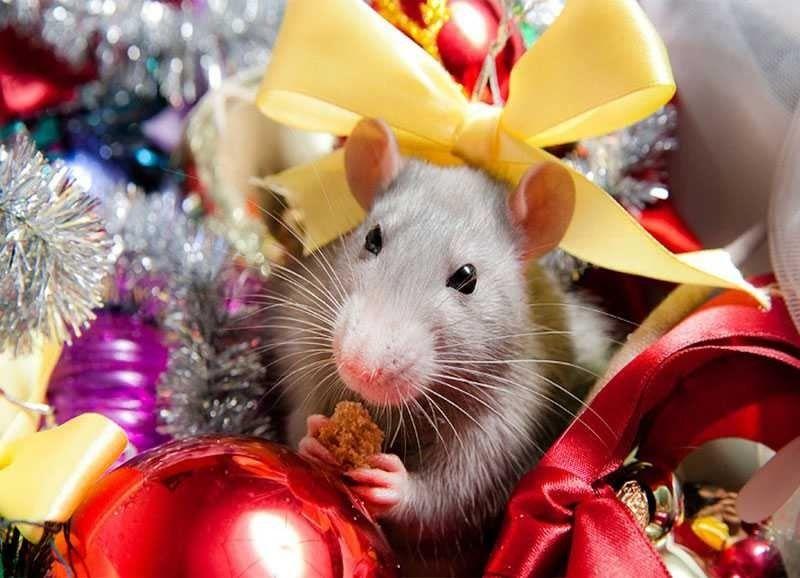 Фото мыши и крысы в Новый год